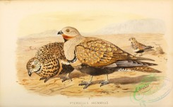 game_birds-00694 - Large or Black-bellied Sand-Grouse