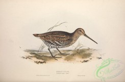 game_birds-00704 - GREAT SNIPE