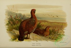 game_birds-00736 - RED GROUSE