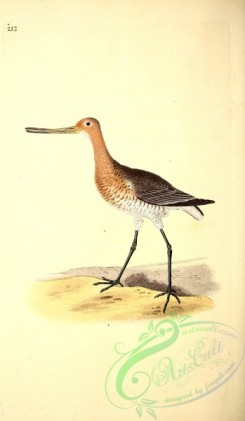 game_birds-00740 - Red Godwit, scolopax lapponica, 2