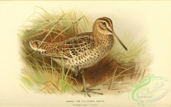 game_birds-00768 - Great or Solitary Snipe, scolopax major