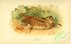 game_birds-00772 - Woodcock, scolopax rusticula, 2