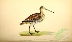 game_birds-00782 - Great Snipe