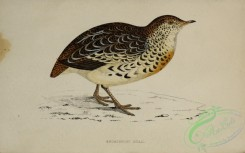 game_birds-00787 - Andalusian Quail
