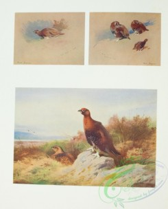 game_birds-00800 - Red Grouse