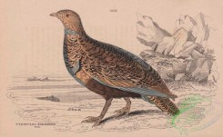 game_birds-00811 - Large or Black-bellied Sand-Grouse