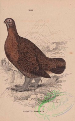 game_birds-00817 - Red Grouse