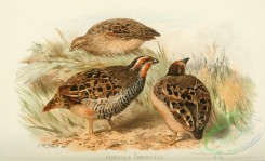 game_birds-00829 - perdicula cambaiensis