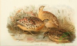 game_birds-00834 - Red-backed Button-quail