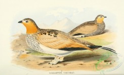 game_birds-00836 - Tibetan Sandgrouse