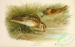 game_birds-00841 - Common Snipe, scolopax gallinago