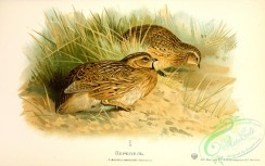 game_birds-00846 - Quail, coturnix communis