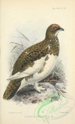 game_birds-00849 - Rock Grouse or Ptarmigan, lagopus rupestris