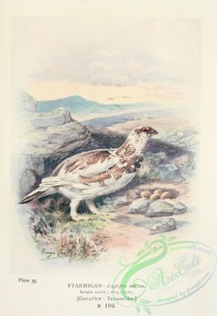 game_birds-00854 - Ptarmigan, lagopus mutus