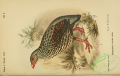 game_birds-00861 - Handsome Francolin, francolinus nobilis