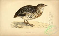game_birds-00868 - Andalusian Quail