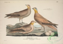game_birds-00886 - Crowned Sandgrouse, pterocles coronatus