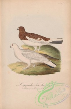 game_birds-00891 - 124a-Willow Grouse, lagopus saliceti