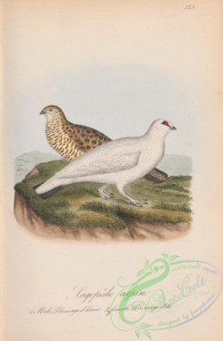 game_birds-00893 - 125-Alpine Grouse, lagopus alpinus