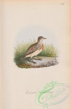 game_birds-00895 - 131-Andalusian Quail, turnix andalusica