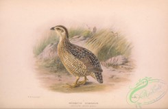 game_birds-00900 - 011-Western Brown Quail, synoecus cervinus