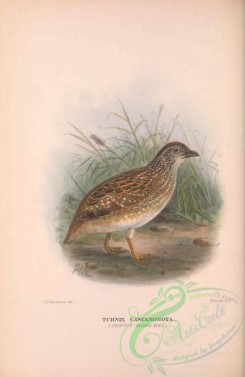 game_birds-00905 - 016-Chestnut Backed Quail, turnix castanonota