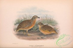 game_birds-00907 - 018-Red-chested Quail, turnix pyrrhothorax