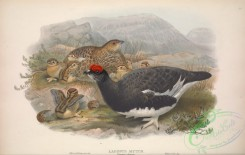 game_birds-00912 - 009-Ptarmigan, lagopus mutus