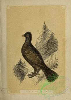game_birds-00932 - Wood Grouse