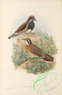 game_birds-00934 - 010-Painted Quail-thrush, cinclosoma ajax
