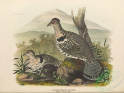 game_birds-00939 - Arctic Ruffed Grouse, bonasa umbelloides