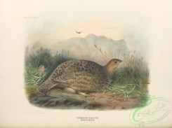 game_birds-00949 - Kunalee Grouse, lagopus persicus