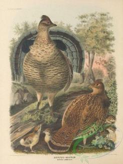 game_birds-00954 - Ruffed Grouse, bonasa umbellus