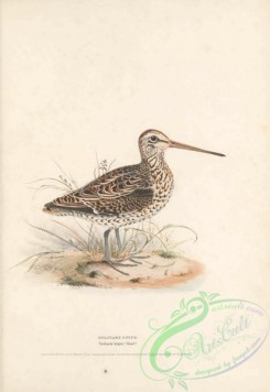 game_birds-00966 - Solitary Snipe, scolopax major