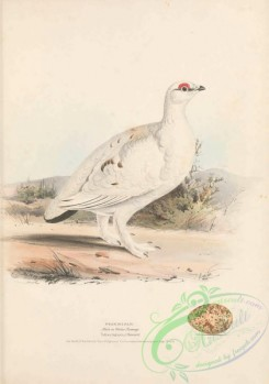 game_birds-00969 - Ptarmigan, tetrao lagopus