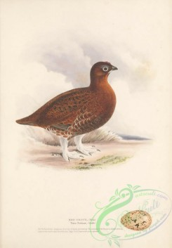 game_birds-00971 - Red Grouse, tetrao scoticus