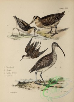 game_birds-00972 - Woodcock, Snipe, Little Stint, Curlew
