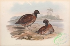 game_birds-00981 - Chestnut-coloured Partridge, ortyx castaneus
