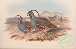game_birds-00992 - Plumed Partridge, callipepla picta