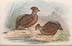 game_birds-00998 - Starred Wood-Quail, odontophorus stellatus
