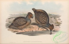 game_birds-01001 - Thick-billed Partridge, odontophorus pachyrhynchus
