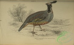 game_birds-01068 - Californian Ortyx, ortyx californica