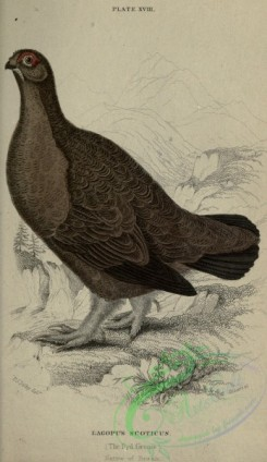 game_birds-01079 - Red Grouse, lagopus scoticus