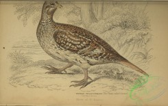 game_birds-01083 - Sharp-tailed Grouse, tetrao phasionellus