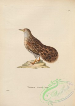 game_birds-01111 - Dwarf Tinamou