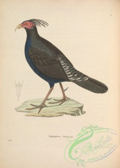 game_birds-01114 - lophophorus cuvieri
