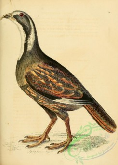 game_birds-01152 - lophophorus nigelli