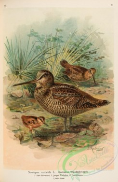 game_birds-01175 - Eurasian Woodcock, scolopax rusticula