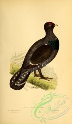 game_birds-01183 - Western Capercaillie