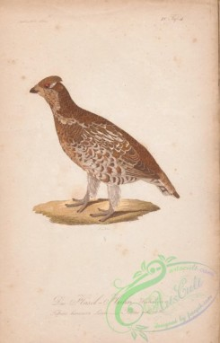 game_birds-01192 - 044-Hazel Grouse, tetrao bonasia